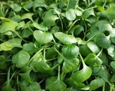Claytonia Miner's Lettuce