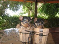 dos cachorros yorkshire en una maceta