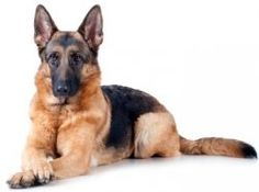 Training a German Shepherd isn't hard. I've had German Shepherds for over 45 years, and a trained German Shepherd is a pleasure to own, visit...