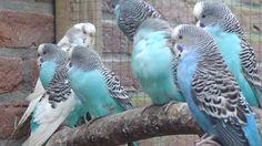 Parkieten-Online.nl Budgies, Parakeets, Grasparkieten, Parkieten