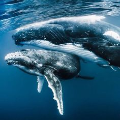 """""""The bond between mother and calf #humpback #whale can only truly be appreciated when you spend time in the company of these magnificent creatures!""""—@ShawnHeinrichs  #NatureIsSpeaking #RacingExtinction #Tonga 🐋💙"""
