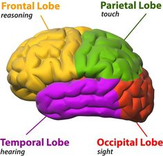CK-12 Foundation   Central Nervous System