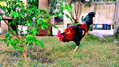 @mgparmar15 #tree #branches #grass #sky #birdphotography #nature  #naturephotography  #landscape  #landscaping  #landscapephotography  #evening #winter #bird #chiken #hen #garden #park #awsome  #quickshot  #trip  #india  #people #forest #forestphotography  #heritage  #rooster #flowers