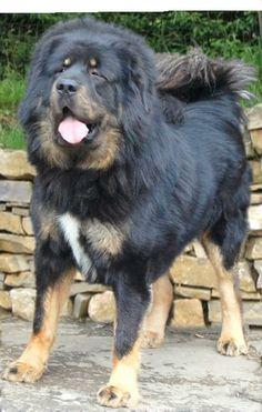 Tibetan Mastiff Dog | DogSpot.in