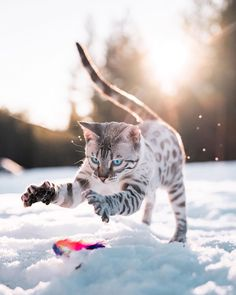 home made cat cat cat s dog cat kitty cat copy cat pets cats make cat cats make how to cat cats cats cats cute cat cat funny diys for cats love cat Beautiful Cat Breeds, Beautiful Cats, I Love Cats, Cool Cats, Bengal Cat Breeders, Bengal Cats, Photo Lovers, Animal Gato, Matou