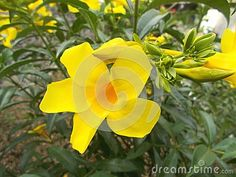 Yellow alamanda flower on the tree