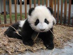 Petit panda dans son parc.
