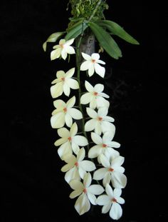Aerangis luteo-alba var. rhodosticta,