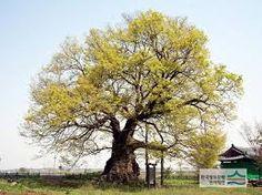느티나무에 대한 이미지 검색결과