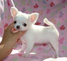 Chihuahua Puppies for Free Baby Chihuahua, Teacup Chihuahua, Chihuahua Meme, Chihuahua Puppies For Sale, Cute Puppies, Cute Dogs, Dogs And Puppies, Cute Dog Photos, Cute Animal Pictures