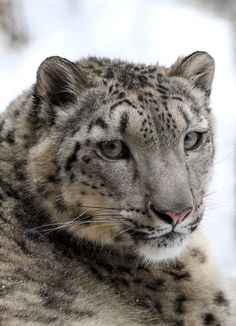 Snow Leopard Closeup by Mark Dumont.