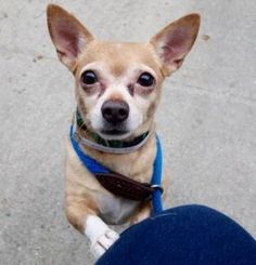 Safe ❣ TO BE DESTROYED 01/29/17 **NEEDS A NEW HOPE RESCUE TO PULL**  My name is INCHWORM. My Animal ID # is A1102007. I am a neutered male tan chihuahua sh mix. The shelter thinks I am about 5 YEARS old.  I came in the shelter as a STRAY on 01/23/2017 from NY 10457, owner surrender reason stated was STRAY.