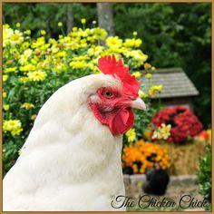 White Orpington hen #chickens
