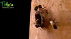 Universo Animal: Meliponicultura, abejas sin aguijón