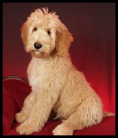 Dog Breeds A goldendoodle! - In this article, we will be discussing Goldendoodle grooming. We will outline the most important steps on how to groom a Goldendoodle, and we will even touch a little bit on Goldendoodle grooming styles. Chien Goldendoodle, Goldendoodle Haircuts, Goldendoodle Grooming, Havanese Puppies, Cute Puppies, Cute Dogs, Dogs And Puppies, Doggies, Cockapoo