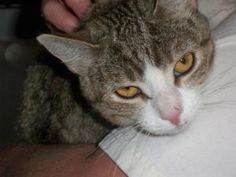 Sylvia is an adoptable Domestic Short Hair - Brown Cat in Prescott, AZ. Sylvia's Contact Info *** Questionnaire *** If you would like to meet Sylvia, please download the questionnaire, fill it out and...