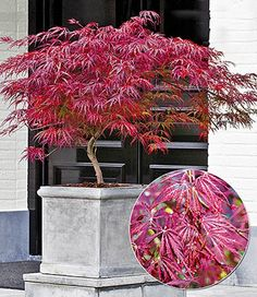 Landscaping Plants, Front Yard Landscaping, Garden Plants, Acer Trees, Commercial Landscaping, Potted Trees, Cannabis Plant, Backyard Garden Design, Japanese Maple