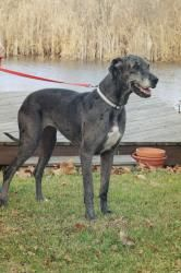 ADOPTED !! MICHIGAN ~ meet Star ~ a 5y/o H-trained Blue Merle #GreatDane #dog in #Plymouth. She's timid at 1st - if you give her a chance she'll stay with you like a shadow. She loves being with ppl belly rubs & loves to LEAN into you for her pets. She's great with our kids & our lab mix. She'd been crated all the time- so she's adjusting to everyday activities in the house & leash walking. She's fine on quiet streets but is scared of traffic noise  #adopt Great Dane Rescue Inc Ph  734-454-3683