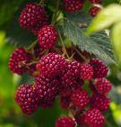 3 recetas para recuperarnos de las vacaciones: protagonista, las frutas del bosque
