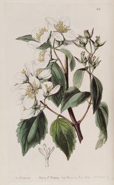 Wild Mock-orange - Philadelphus lewisii - circa 1839