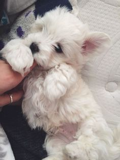 What a sweet Westie baby! Westie Puppies, Maltese Dogs, Westies, Cute Puppies, Cute Dogs, Dogs And Puppies, Doggies, Chihuahua Dogs, Beautiful Dogs
