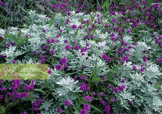 artemisia stelleriana with verbena rigida. Ooh, I love that! Always bugged me how there is lack of color diversity with my artemisia. Both plants need severe cut back in winter. This would work well if verbena is planted in spring after artemisia cutback