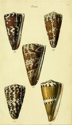 Marine snails, Conidae, conchological illustration