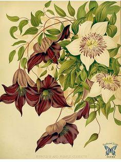 Clematis florida [as C. sieboldii] and Clematis jackmanii. The garden : vol. 22, (1882) | Flickr - Photo Sharing!