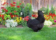 pretty hen pose