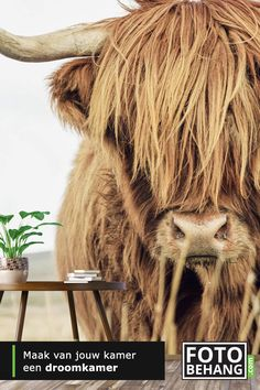 Highland Cattle, Farm Shop, Cow Art, All Gods Creatures, Close Up Photos, Office Interior Design, Summer Diy, Photo Wallpaper, Living Room Inspiration