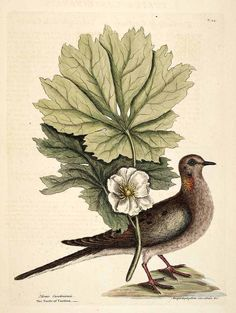 Mourning Dove with Mayapple (Podophyllum peltatum): Catesby