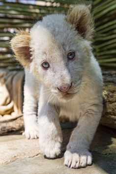 Shy White Lion Cub ~ by: Tambako the Jaguar
