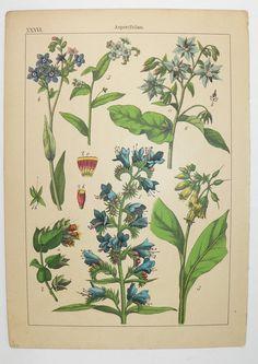 1895 Antique Botanical Print, Viper Bugloss, Borage Blue Flower Betony, Vintage Flower Print, Antique Color Print Flowers Gift for Gardener available from OldMapsandPrints.Etsy.com #AntiqueBotanicalPrint #VintageFlowerArt #1895WillkommColorBotanicalPrint #AntiqueFlowerArt