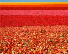 Stock Photo: 1599R-15394 Field of Ranunculus flowers at Carlsbad Ranch in San Diego, California