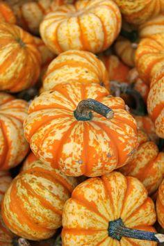 Use mini pumpkins as decorating elements this fall/Halloween season. Glass Pumpkins, Fall Pumpkins, Mini Pumpkins, Grow Pumpkins, Autumn Art, Autumn Leaves, Pumpkin Farm, Pumpkin Garden, Fall Halloween