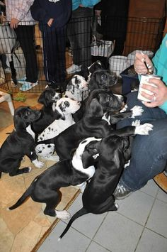 """Litter of 10 Great Dane puppies waiting for food, """"Mine! Mine! Mine! Mine!""""... these dogs are from Service Dog Project www.servicedogproject.org and can be seen on live webcam at explore.org. They are part of an amazing program that trains this beautiful breed as service dogs for people who are mobility impaired."""