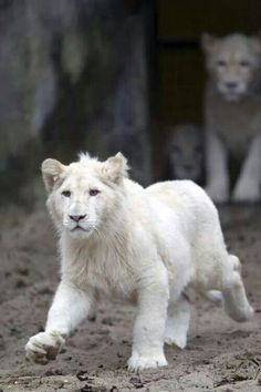 A Young White Lion off to Hunt. Animals And Pets, Baby Animals, Cute Animals, Wild Animals, Beautiful Cats, Animals Beautiful, Beautiful Soul, Big Cats, Cats And Kittens