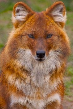 ASIATIC WILD DOG or DHOLE  Cuon alpinus