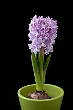 Hyacint. Bästa juldoften.