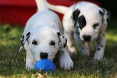 dalmatian puppies- my dream dog since the first grade. and i still plan on having one someday.