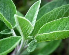 Salvia   Propiedades y aplicaciones de esta planta - Salvia10.Com