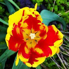 Yesterday in the garden! Today rain   #tulip #nature #art #beautiful #yard #gardening #garden #springtime #colorful #pattern #naturmönster #inspiration #natureart #papegojtulpan by annelie_hallgren