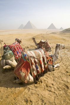 """Resting camels gaze across the desert sands of Giza to the famed Egyptian pyramids outside Cairo"""