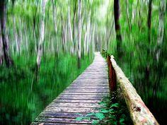 The Birch Forest in Waren, Mecklenburg-Vorpommern, Germany
