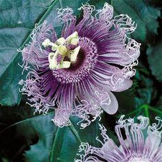 Die Schöne Passionsblume ? Was Sie Bei Der Pflege Beachten Sollten ... Schone Passionsblume Pflege Tipps Zimmerpflanzen