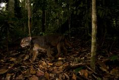 An extremely elusive creature called a bay cat has been photographed in stunning detail in its native Borneo in Southeast Asia. The new image, which was captured by a photographer working with the wildcat conservation organization Panthera, is one of the first high-resolution images taken of the enigmatic species. Previously, grainy camera-trap images were the main evidence of the cat's existence.[Full Story:  Rare Borneo Bay Cat Captured in Stunning Photo]