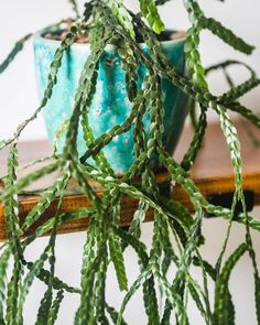lycopodium nummularifolia ~ tassel fern
