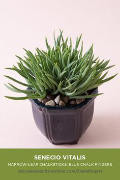"blue-green ""filler"" succulent is perfect for container gardens. It grows tall, adding height and texture to your arrangements. It propagates easily, so if growing outdoors be aware of where you're planting. Watch for white blossoms in the spring. Types Of Succulents, Growing Succulents, Cacti And Succulents, Planting Succulents, Garden Plants, Planting Flowers, Succulent Gardening, Tall Plants, Outdoor Plants"
