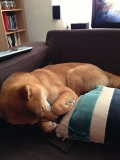 Kuma - Sleeping Shiba Inu Japanese Akita, Japanese Dogs, Best Dog Breeds, Best Dogs, Sleeping Japanese, Cute Little Dogs, Crazy Dog Lady, Mundo Animal, Weiner Dogs