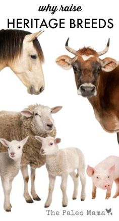 We are the benefactors of our own rich heritage from our ancestors and I'm excited to share with all of you why raise heritage livestock breeds. http://thepaleomama.com/2015/08/why-raise-heritage-livestock-breeds/